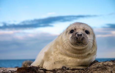 גור כלב ים